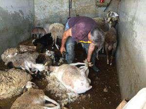esquilar ovejas laroya