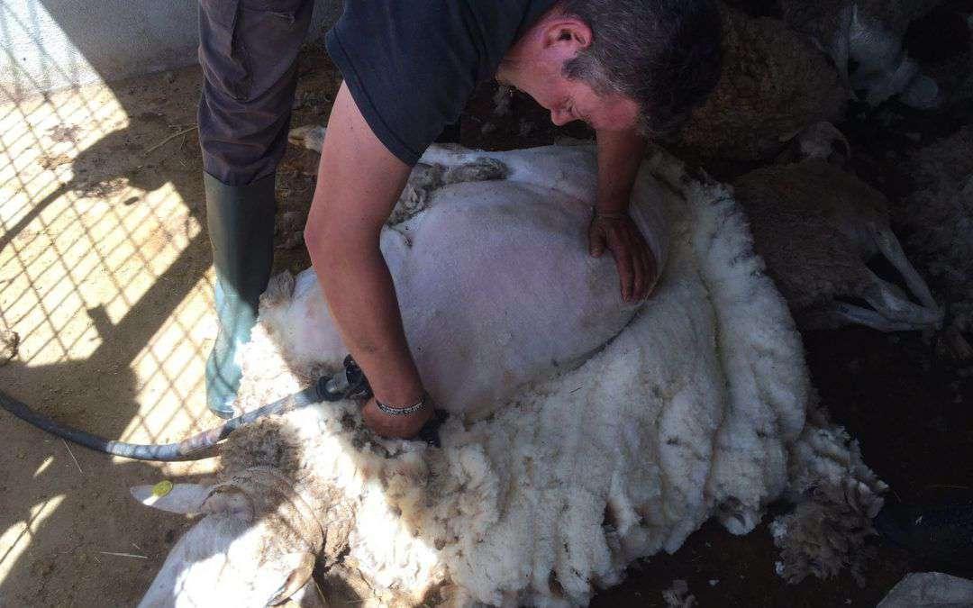 Esquilar ovejas en Laroya