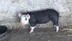 cerdo de la granja de Reul Alto