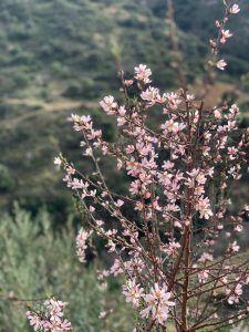 Almendros en flor en Reul Alto